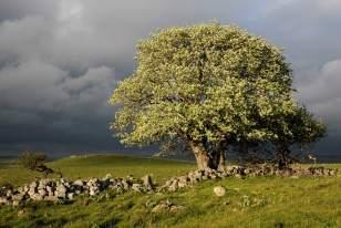 Orage de printemps sur un alisier du plateau de l'Aubrac