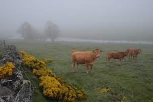 Paysage de l'Aubrac à l'aube, avec vache Aubrac