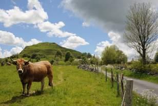 Vaches de race Aubrac, sur les plateaux de l'Aubrac, village de Marchastel