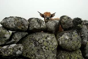 Vache de race Aubrac et muret de pierre sèche, sur les plateaux de l'Aubrac