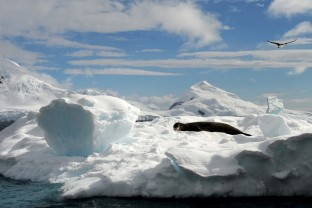 Antarctique-Peninsule-Antarctica-Léopard-des-mers-Sea-Leopard-aune