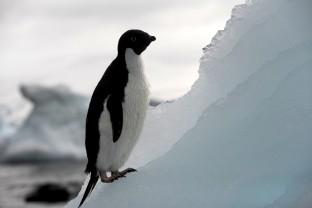Antarctique-Peninsule-Antarctica-Manchot-Adelie-Pygoscielis-Adeliae