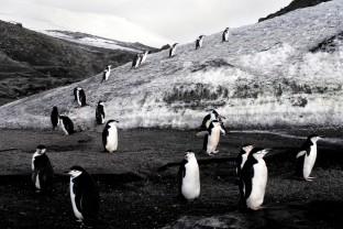 Manchots-a-jugulaire-Decepcion-Island-Antarctique-Antarctica-Peninsula