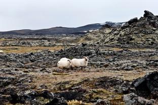 02-Joly-Islande-Iceland-Highlands-Rettir-Transhumance-Moutons-Fjallabak-Jokulgil