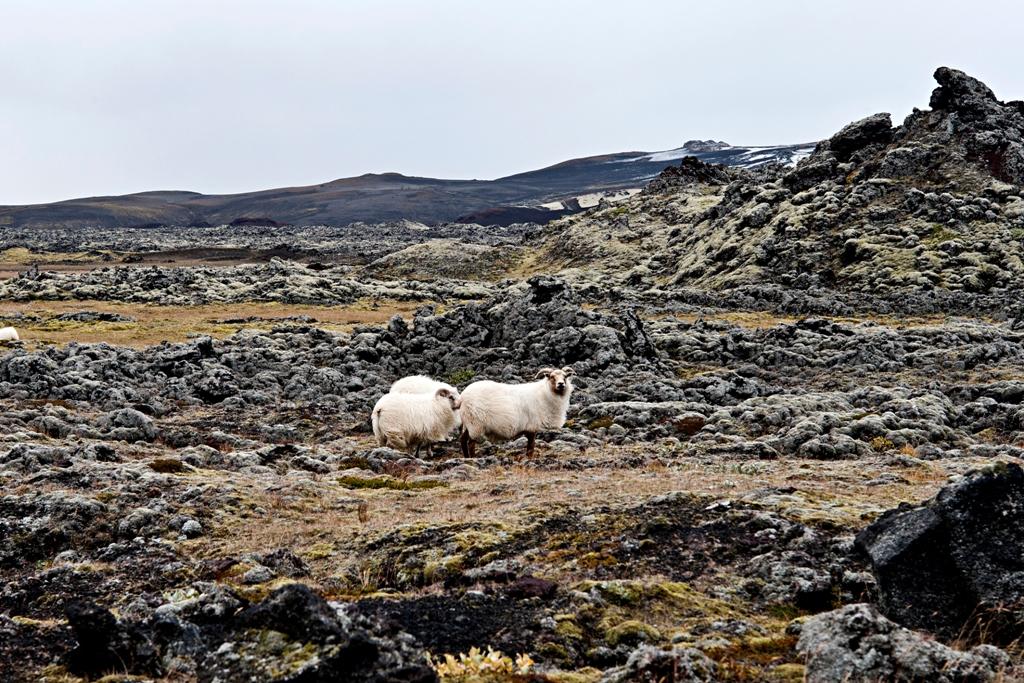 Rettir Moutons Islande