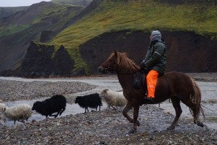 56-Joly-Islande-Iceland-Highlands-Rettir-Transhumance-Moutons-Fjallabak-Jokulgil