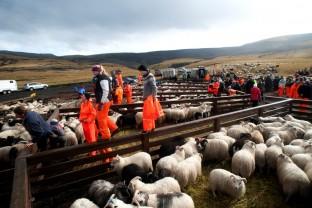 89-Joly-Islande-Iceland-Highlands-Rettir-Transhumance-Moutons-Fjallabak-Jokulgil